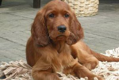 Godiva of Kyntire-Irish Setter