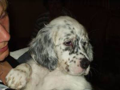 Dorea´s Elderberry Pleasure for Stardust-English-Setter
